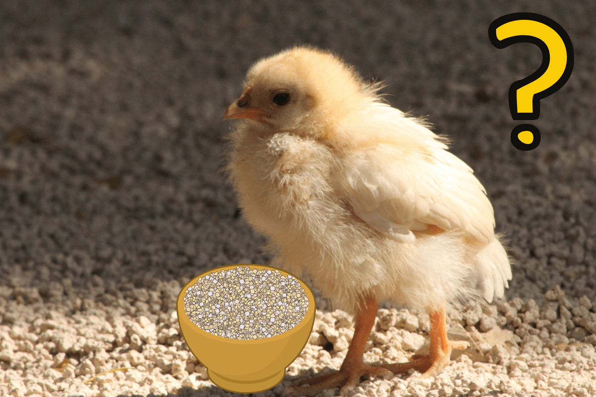 Why Baby Chickens Need Grit (and How to Provide It)