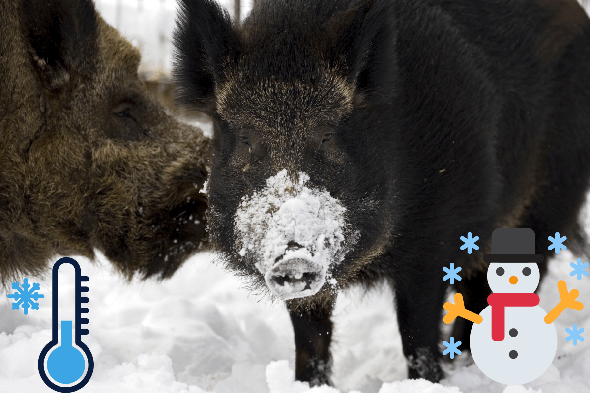 11 Ways to Keep Pigs Warm in Winter