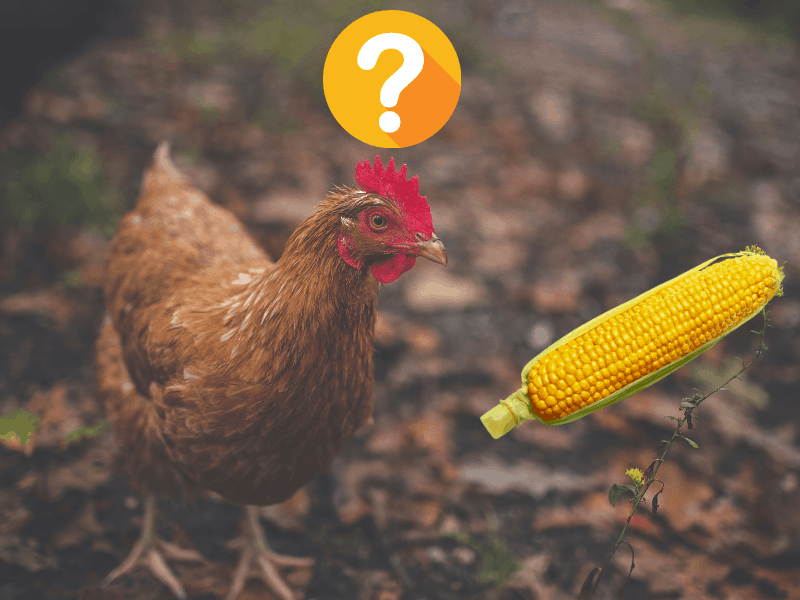 Is Cracked Corn Good for Chickens?
